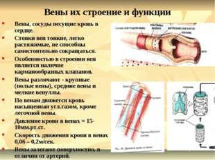 Вены их строение и функции Вены, сосуды несущие кровь в сердце. Стенки вен то