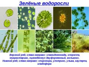 Зелёные водоросли Верхний ряд, слева направо: хламидомонада, хлорелла, микрас