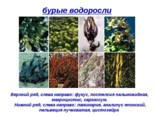 бурые водоросли Верхний ряд, слева направо: фукус, постелсия пальмовидная, ма