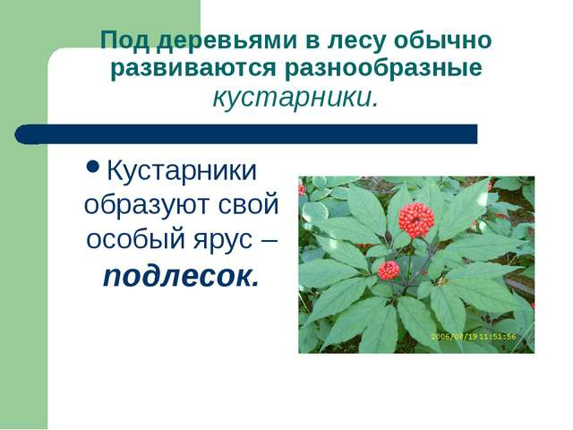 Под деревьями в лесу обычно развиваются разнообразные кустарники. Кустарники...
