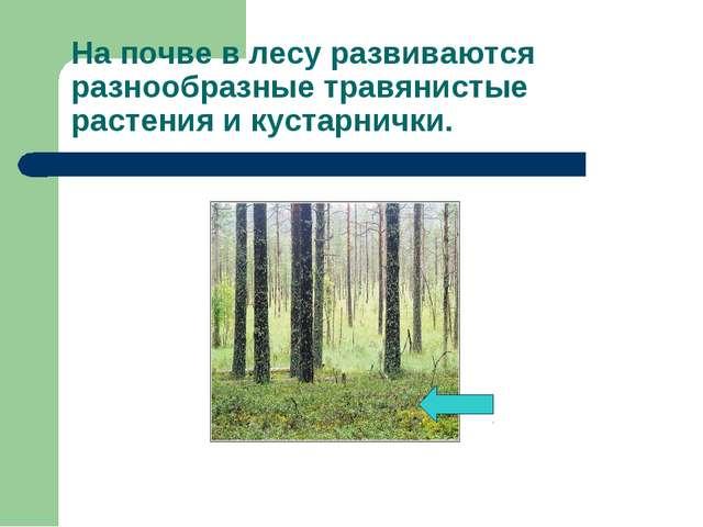 На почве в лесу развиваются разнообразные травянистые растения и кустарнички.