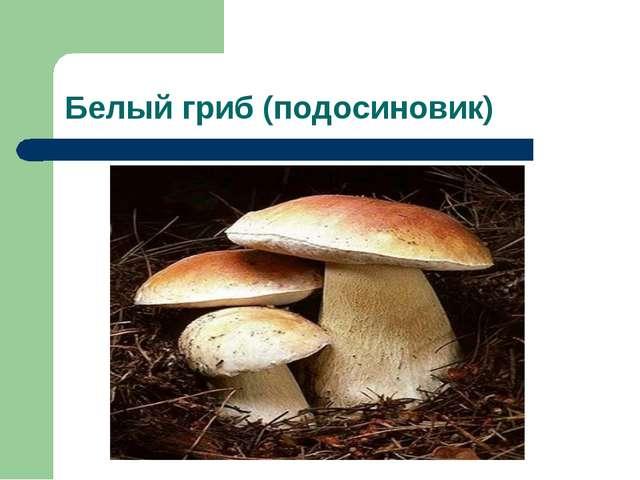 Белый гриб (подосиновик)