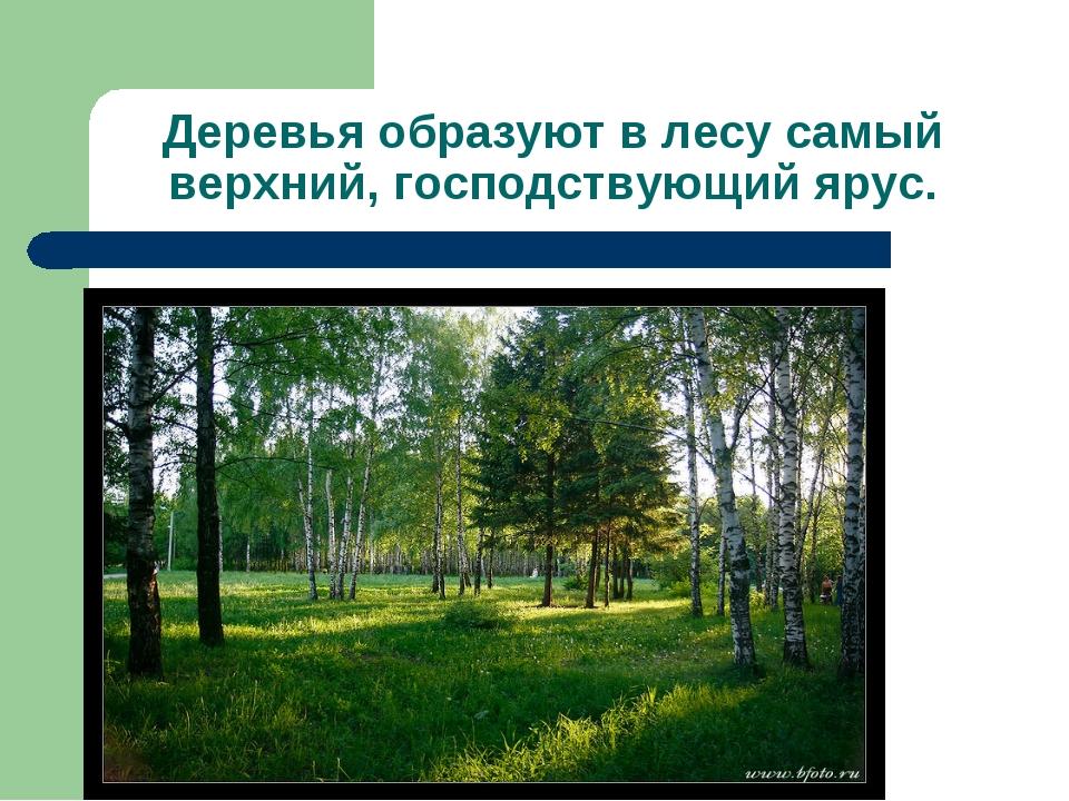 Деревья образуют в лесу самый верхний, господствующий ярус.