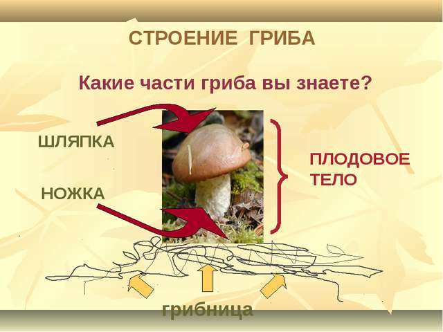 ШЛЯПКА НОЖКА грибница ПЛОДОВОЕ ТЕЛО Какие части гриба вы знаете? СТРОЕНИЕ ГРИБА