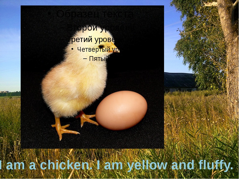 I am a chicken. I am yellow and fluffy.