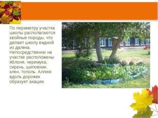 По периметру участка школы располагаются хвойные породы, что делает школу вид