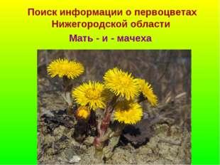 Поиск информации о первоцветах Нижегородской области Мать - и - мачеха