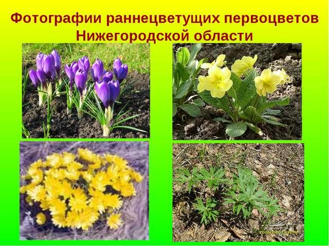 Фотографии раннецветущих первоцветов Нижегородской области