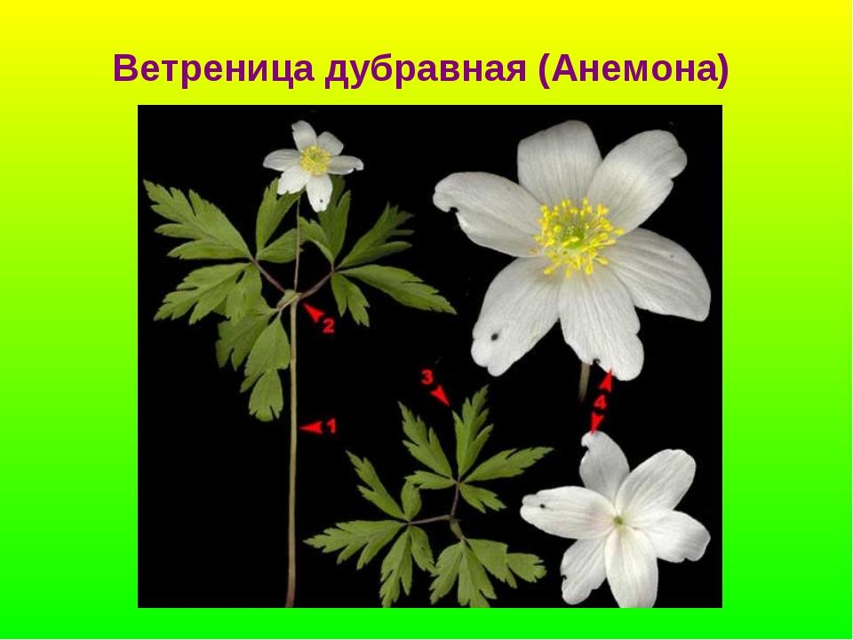 Ветреница дубравная (Анемона)