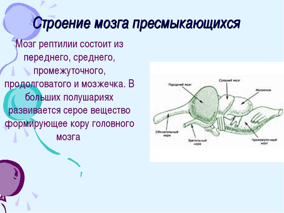 Строение мозга пресмыкающихся Мозг рептилии состоит из переднего, среднего, п...