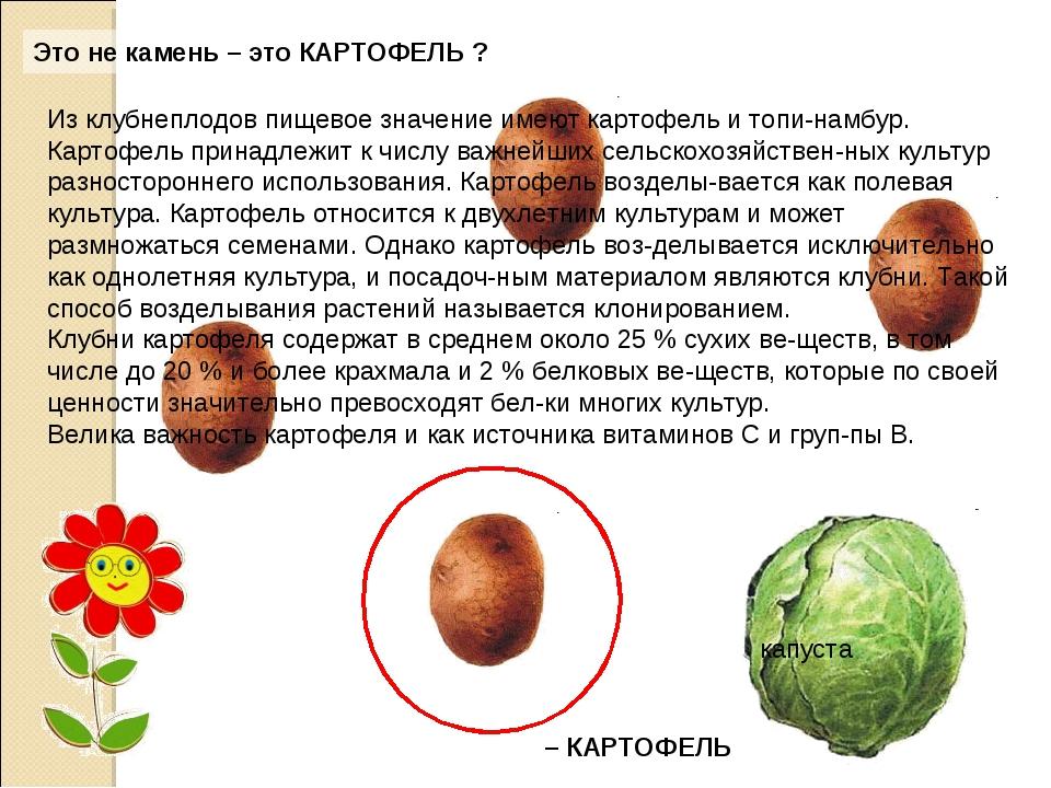 Это не камень – это КАРТОФЕЛЬ ?. капуста Из клубнеплодов пищевое значение име...