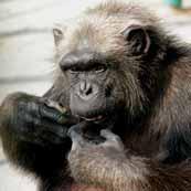 http://safari-park.su/images/sampledata/mir_dikoy_prirodi/shimpanze_ikonka.jpg