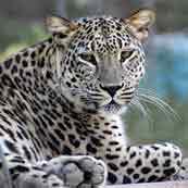 http://safari-park.su/images/sampledata/mir_dikoy_prirodi/leopard_ikonka.jpg