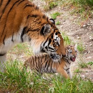 http://safari-park.su/images/sampledata/mir_dikoy_prirodi/amyrski_tigr_text.jpg