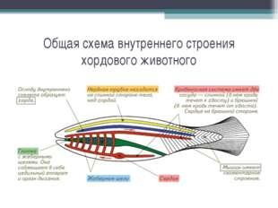 Общая схема внутреннего строения хордового животного
