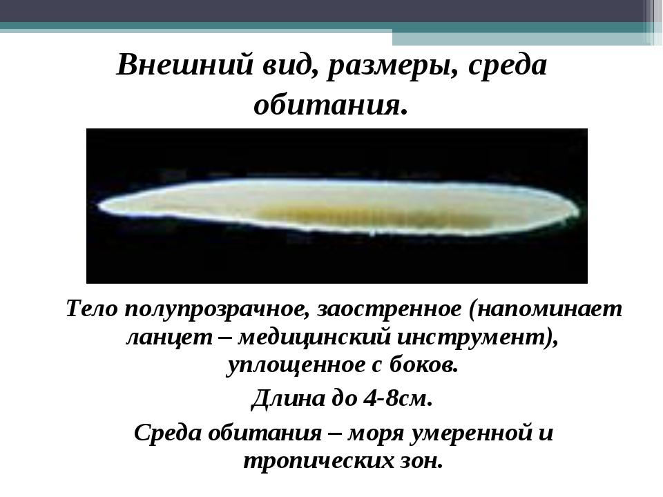 Внешний вид, размеры, среда обитания. Тело полупрозрачное, заостренное (напо...