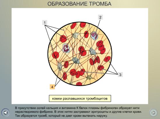 C:\Program Files\Образовательные комплексы\Биология, 8 кл. Человек\edu_r75_bio8\data\res\res03B443C9-0A01-022A-00EE-20FE71A23D98
