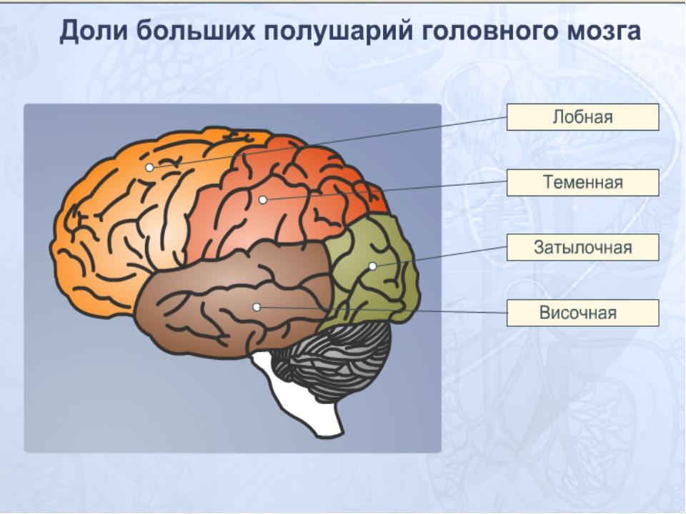 Головной мозг доли картинки