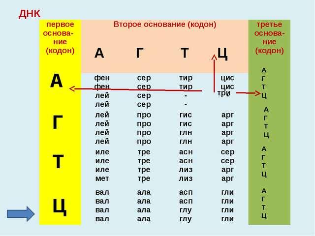 2. Какими триплетами в молекуле ДНК закодированы аминокислоты: Валин; Фенилан...