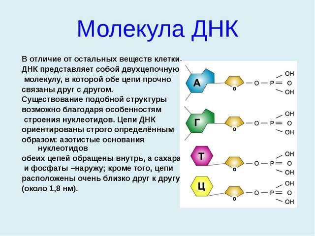 В отличие от остальных веществ клетки, ДНК представляет собой двухцепочную мо...