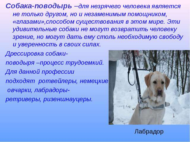 Собака-поводырь –для незрячего человека является не только другом, но и незам...
