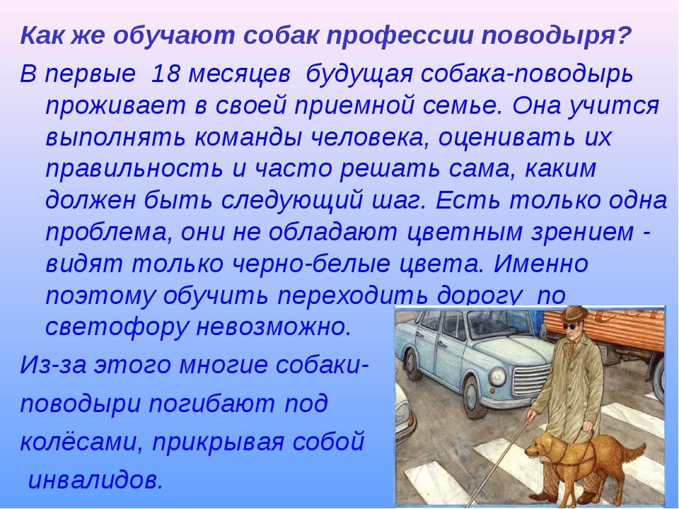 Как же обучают собак профессии поводыря? В первые 18 месяцев будущая собака-п...