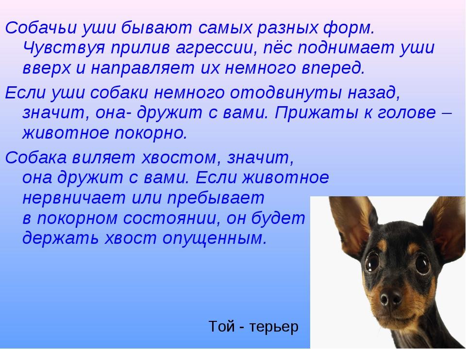 Собачьи уши бывают самых разных форм. Чувствуя прилив агрессии, пёс поднимает...