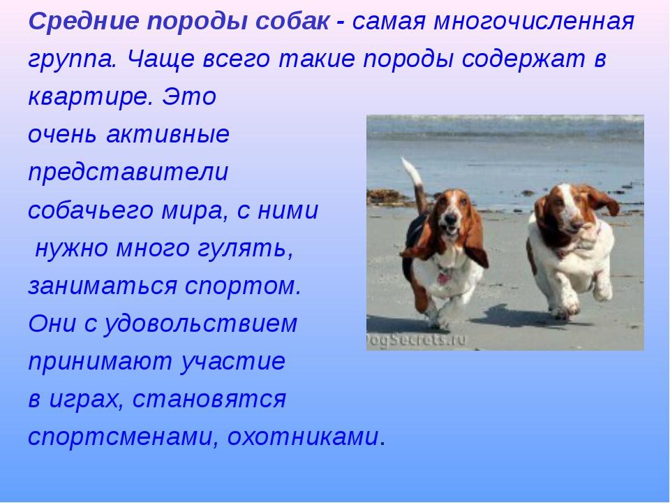 Средние породы собак - самая многочисленная группа. Чаще всего такие породы с...