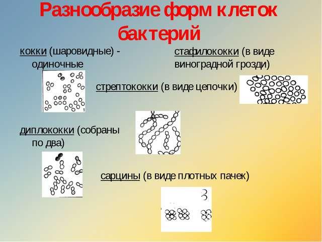 Разнообразие форм клеток бактерий кокки (шаровидные) - одиночные диплококки (...