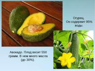 Авокадо. Плод весит 550 грамм. В нем много масла (до 30%). Огурец. Он содержи
