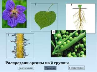 Распредели органы на 2 группы Вегетативные Генеративные Проверка 4 1 2 3 5
