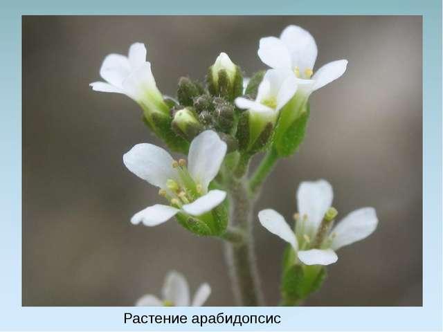 Растение арабидопсис