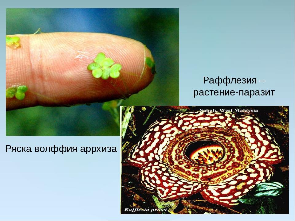 Ряска волффия аррхиза Раффлезия – растение-паразит