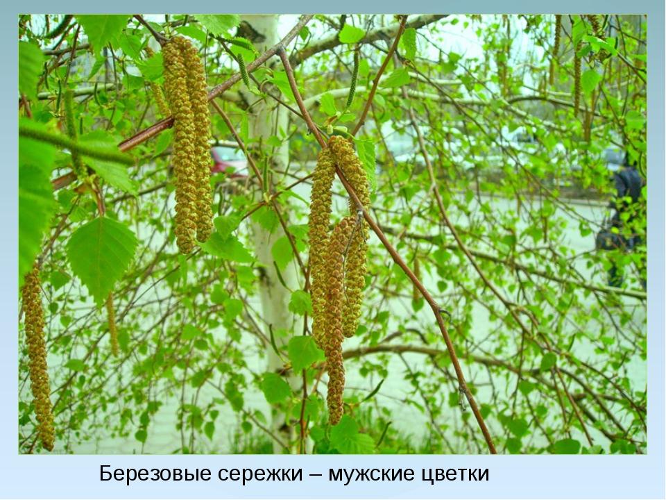 Березовые сережки – мужские цветки