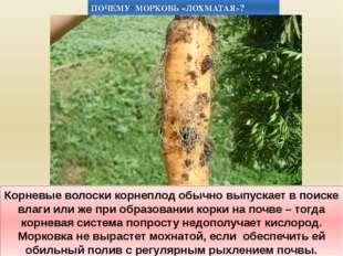 Корневые волоски корнеплод обычно выпускает в поиске влаги или же при образов