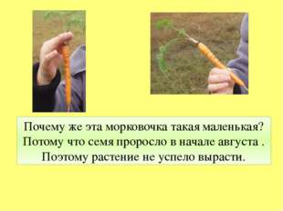 Почему же эта морковочка такая маленькая? Потому что семя проросло в начале а