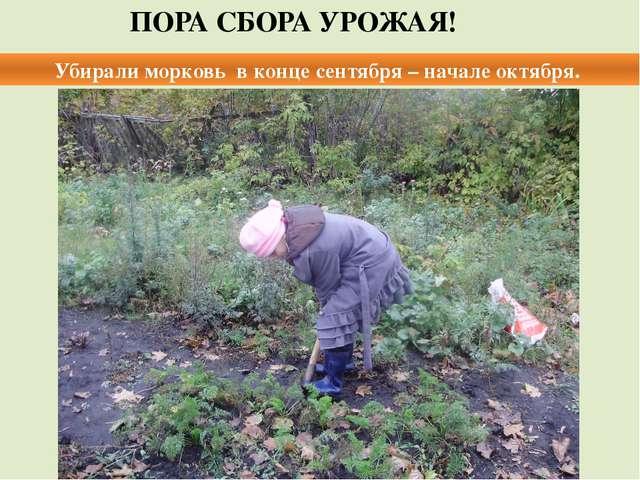 ПОРА СБОРА УРОЖАЯ! Убирали морковь в конце сентября – начале октября.
