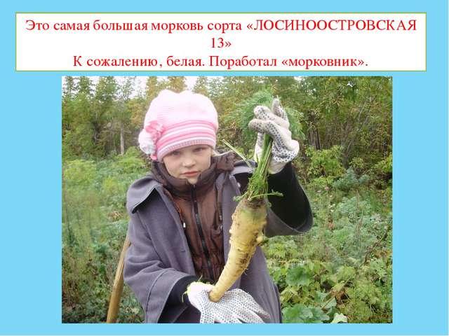 Это самая большая морковь сорта «ЛОСИНООСТРОВСКАЯ 13» К сожалению, белая. Пор...