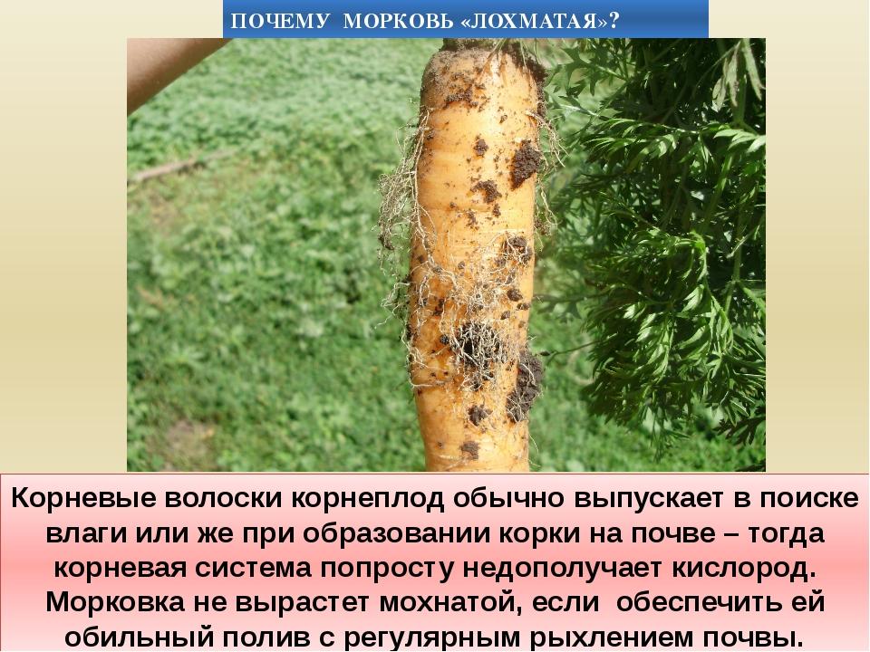 Корневые волоски корнеплод обычно выпускает в поиске влаги или же при образов...