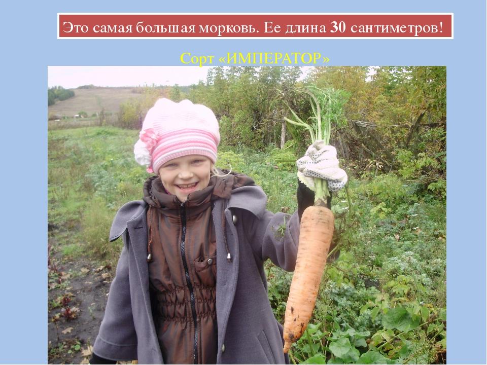 Это самая большая морковь. Ее длина 30 сантиметров! Сорт «ИМПЕРАТОР»