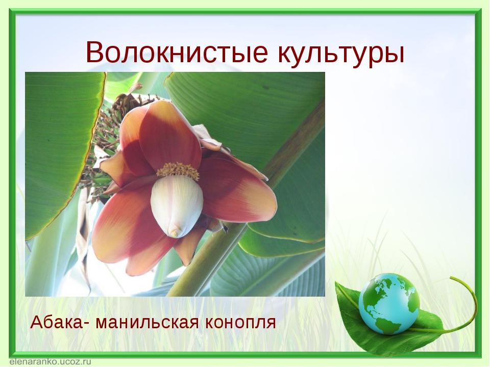 Волокнистые культуры Абака- манильская конопля