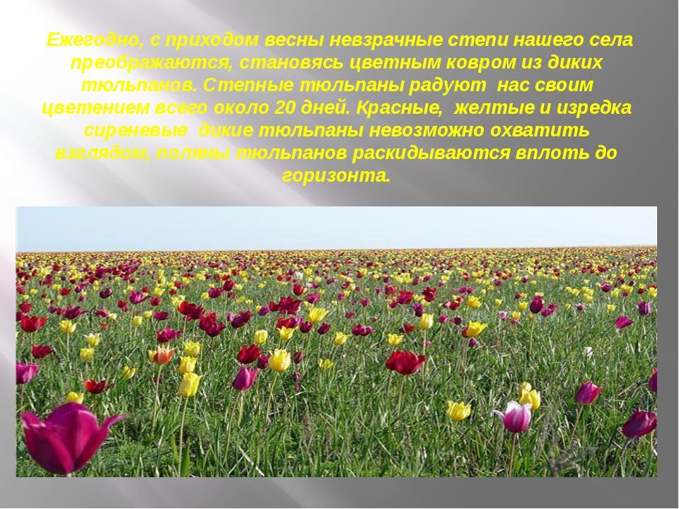 Ежегодно, с приходом весны невзрачные степи нашего села преображаются, стано...