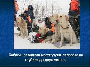 Собаки –спасатели могут учуять человека на глубине до двух метров.