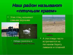 Наш район называют «птичьим краем» Этих птиц называют самыми верными Лебеди (