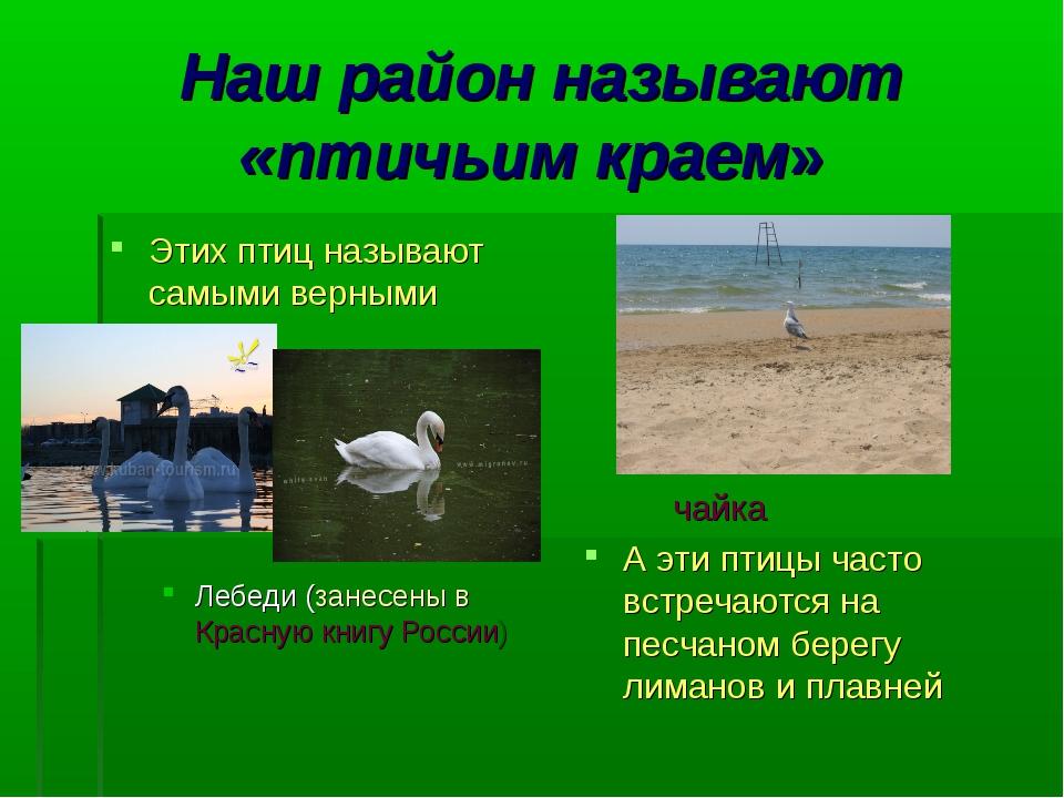 Наш район называют «птичьим краем» Этих птиц называют самыми верными Лебеди (...