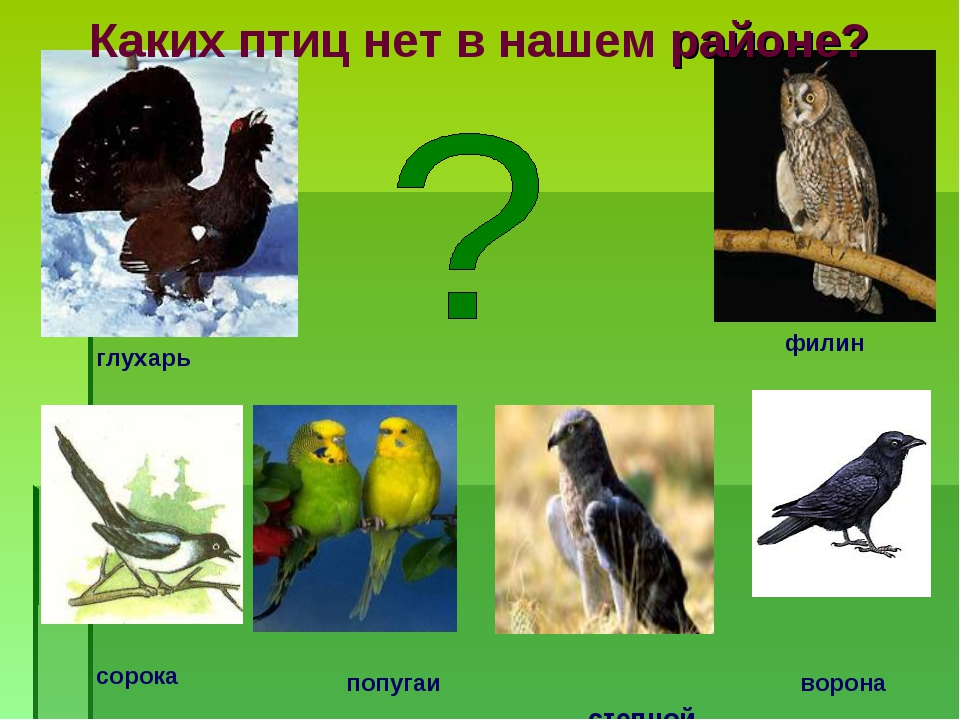 степной орёл попугаи Каких птиц нет в нашем районе? ворона филин глухарь сор...