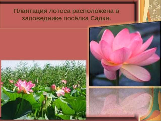 Плантация лотоса расположена в заповеднике посёлка Садки.
