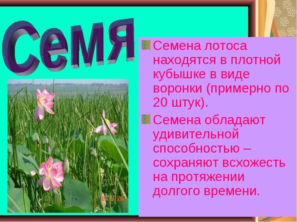 * * Семена лотоса находятся в плотной кубышке в виде воронки (примерно по 20...