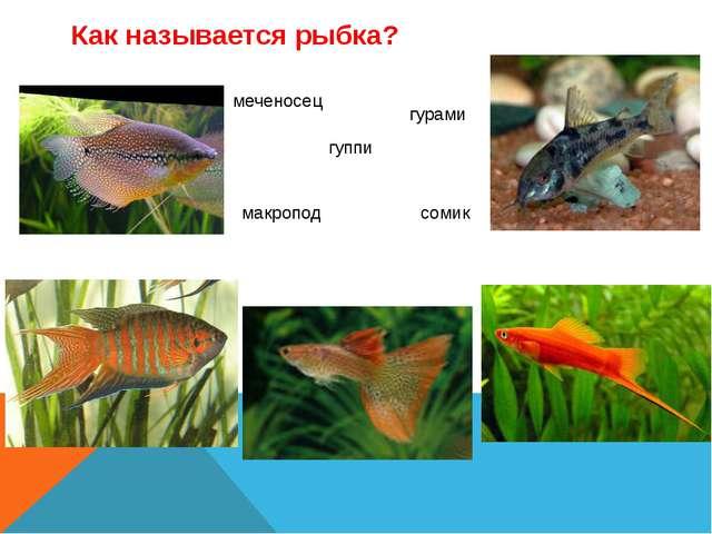 Как называется рыбка? гуппи макропод гурами меченосец сомик