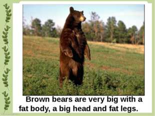 Brown bears are very big with a fat body, a big head and fat legs. FokinaLid